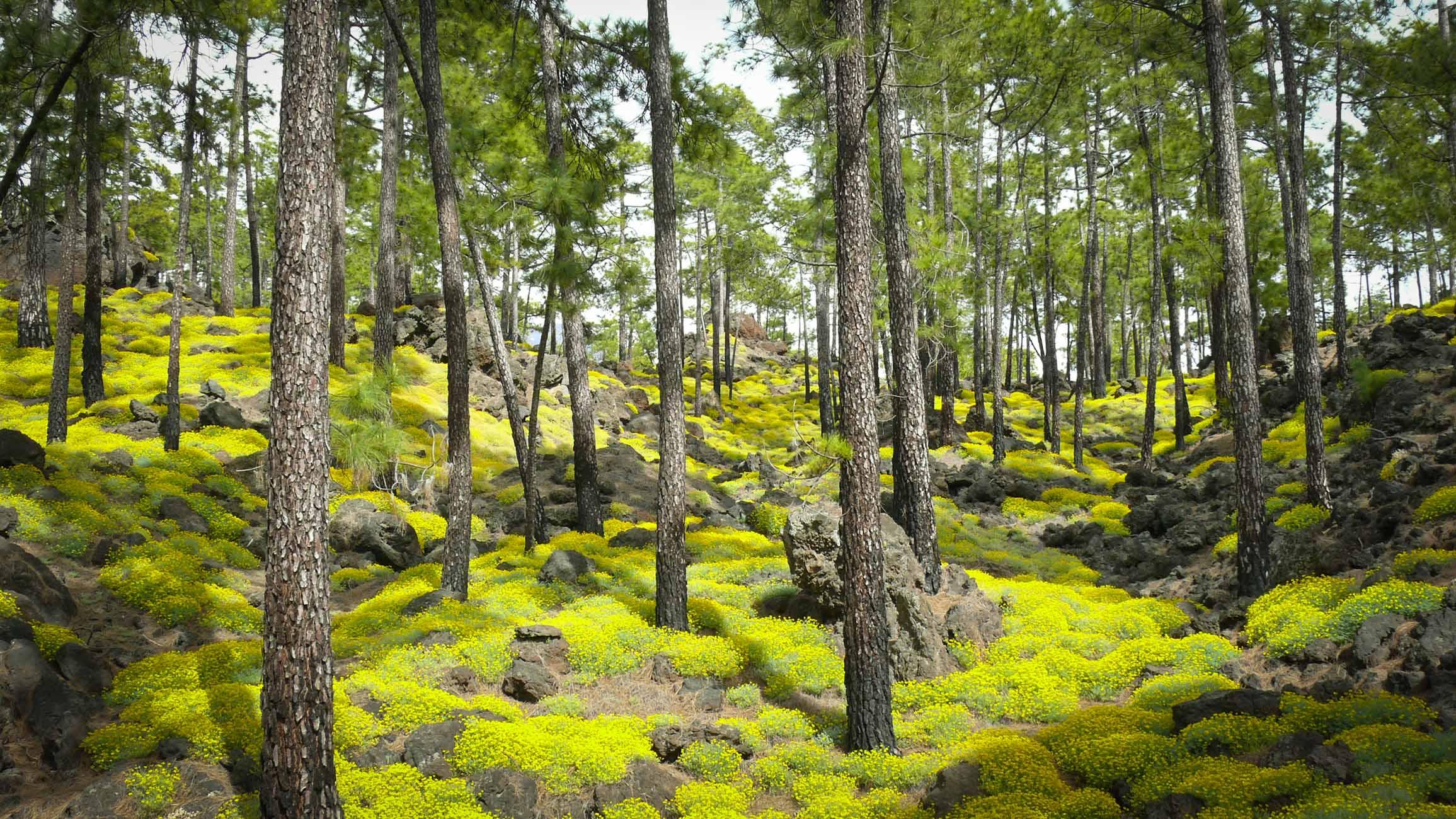 Цветы - национальный парк Тейде, Тенерифе, Канаские острова
