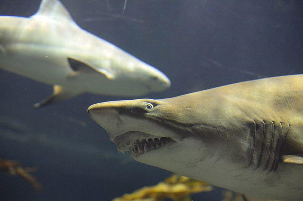 В Лоро Парке дрессируют акул